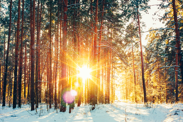 Beautiful Sunset Sunrise Sunshine In Sunny Winter Snowy Conifero - Stock Photo - Images
