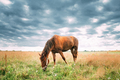 Red Horse Grazing Grass In Summer Meadow. - PhotoDune Item for Sale