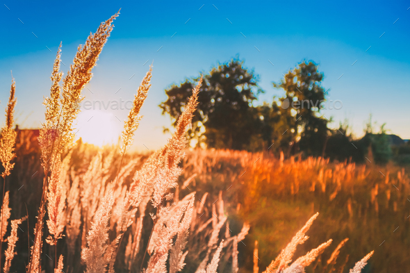 Dry Grass In Sunset Sunlight. Beautiful Plant On Sunrise Landsca - Stock Photo - Images