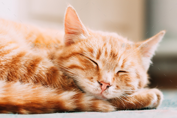 Small Peaceful Orange Red Tabby Ginger Cat Male Kitten Curled Up - Stock Photo - Images