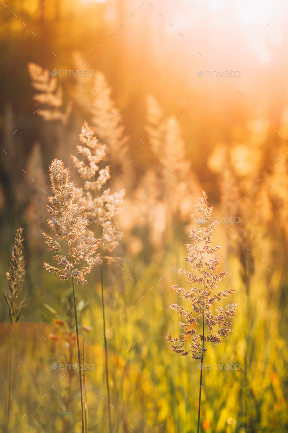 Green Grass In Sunset Sunlight. - Stock Photo - Images