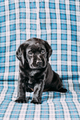 Beautiful Black Labrador Puppy Dog - PhotoDune Item for Sale
