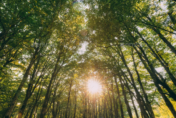 Summer Forest Trees Woods Canopy. Bottom View Wide Angle Backgro - Stock Photo - Images