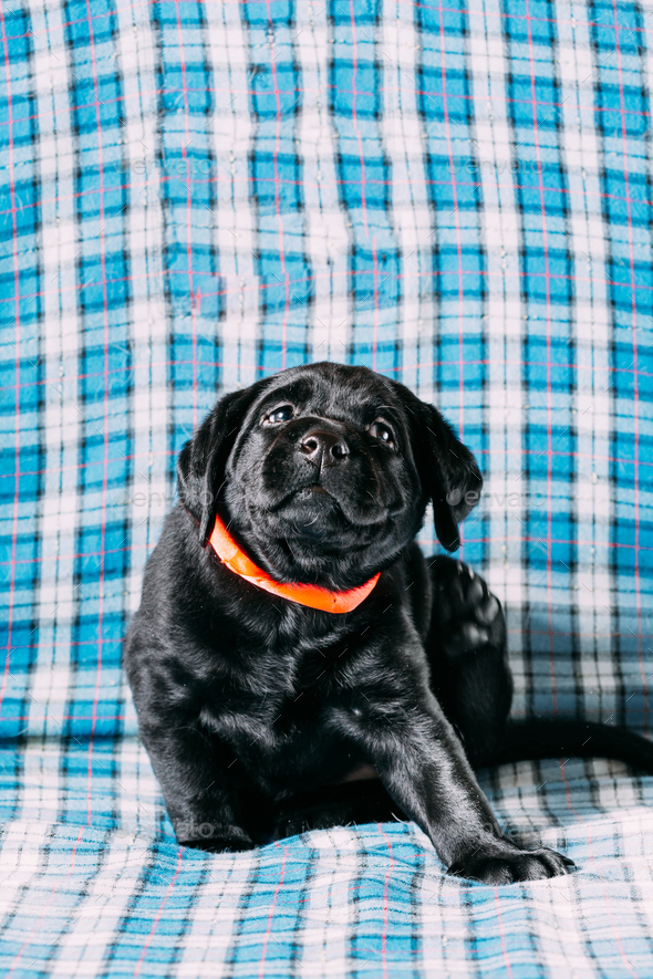 Beautiful Black Labrador Puppy Dog - Stock Photo - Images