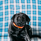 Beautiful Black Labrador Puppy Dog - PhotoDune Item for Sale