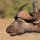 African buffalo portrait - PhotoDune Item for Sale