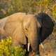 African elephant portrait - PhotoDune Item for Sale