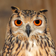Bengal eagle owl portrait - PhotoDune Item for Sale