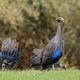 Foraging vulturine guineafowl - PhotoDune Item for Sale