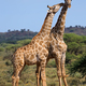Giraffe interaction - South Africa - PhotoDune Item for Sale