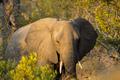 African elephant portrait - PhotoDune Item for Sale
