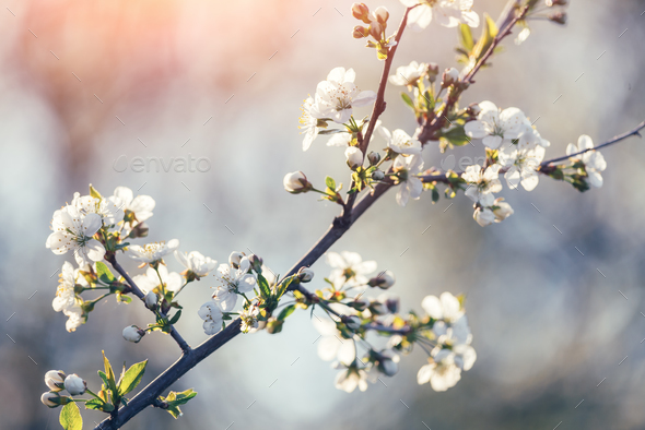 White cherry flowers on spring time - Stock Photo - Images