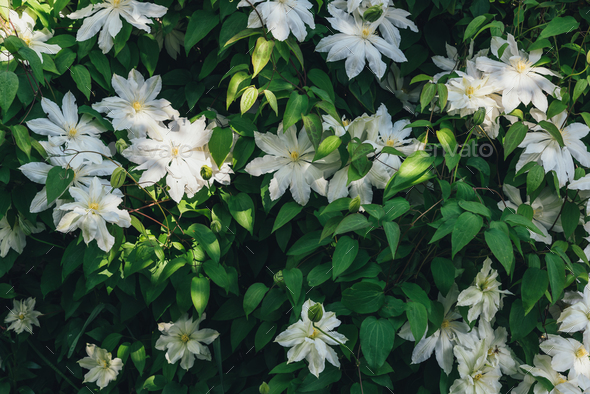 Clematis flowers closeup - Stock Photo - Images