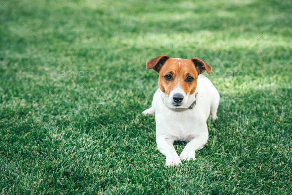 Jack russel terrier on green lawn - Stock Photo - Images