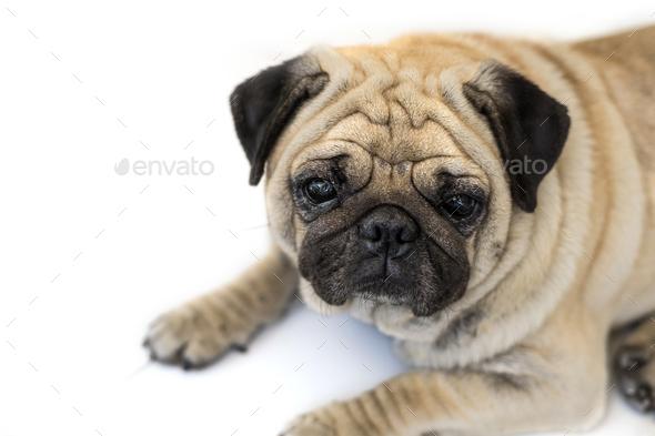 Pug dog isolated on white background - Stock Photo - Images