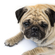 Pug dog isolated on white background - PhotoDune Item for Sale