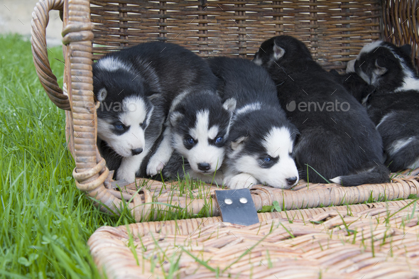 husky in basket - Stock Photo - Images