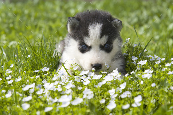 siberian husky puppy - Stock Photo - Images