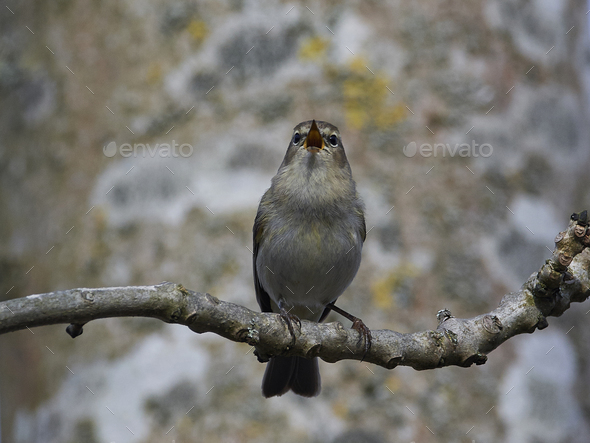 Common chiffchaff (Phylloscopus collybita) - Stock Photo - Images
