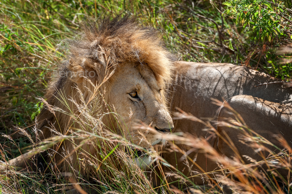 Lion male in National park of Kenya - Stock Photo - Images