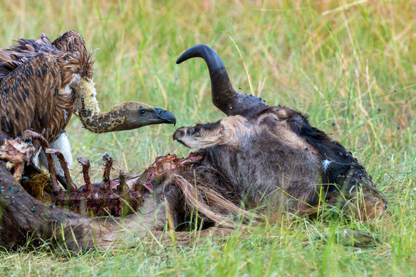 Vulture feeding on a kill - Stock Photo - Images