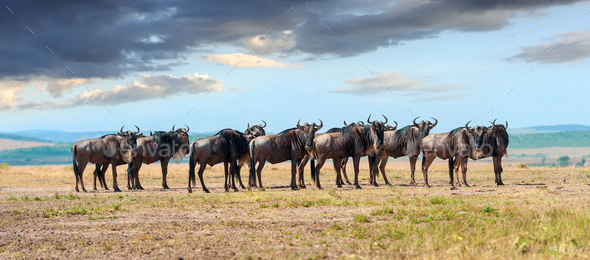 Wildebeest in National park of Africa - Stock Photo - Images