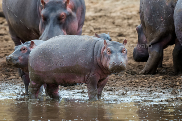 Hippo (Hippopotamus amphibius) in the river - Stock Photo - Images