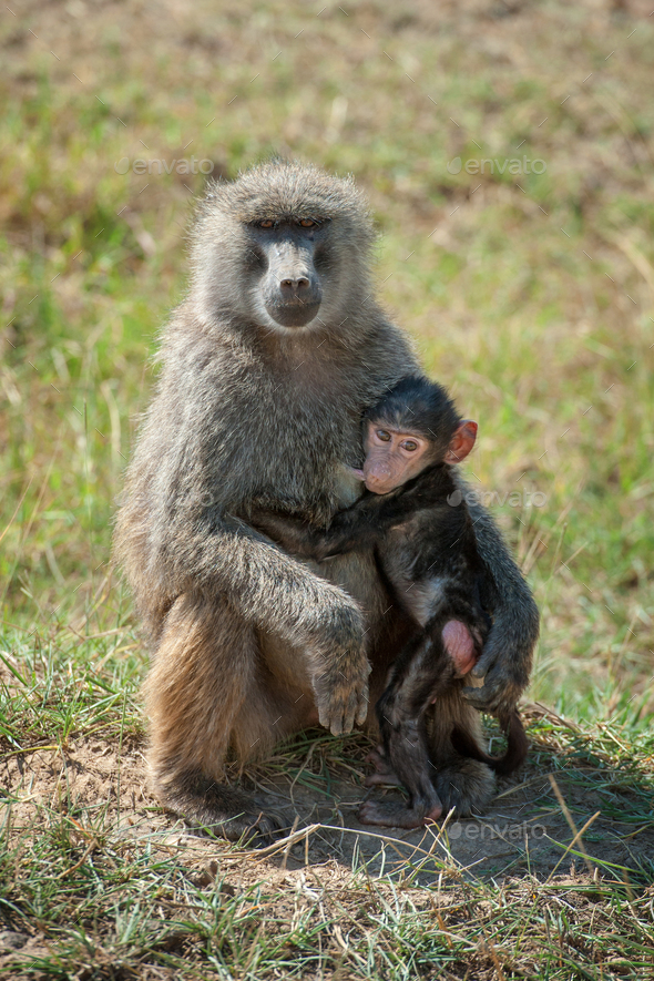 Baboon in National park of Kenya - Stock Photo - Images