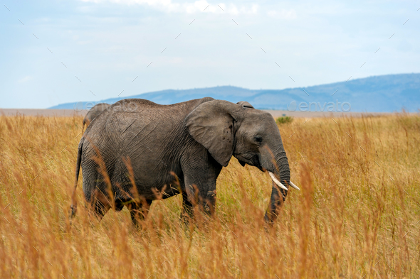 Elephant in National park of Kenya - Stock Photo - Images