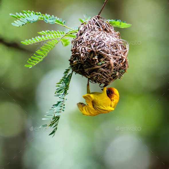 Southern masked weaver building nest - Stock Photo - Images