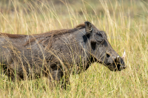 Warthog on the National Park, Kenya - Stock Photo - Images