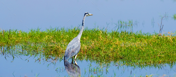 Close gray heron - Stock Photo - Images