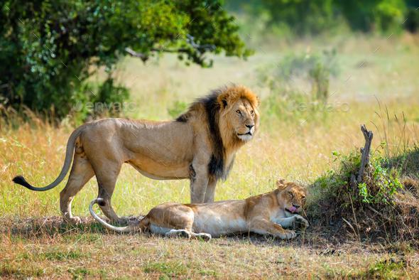 Lion in National park of Kenya - Stock Photo - Images