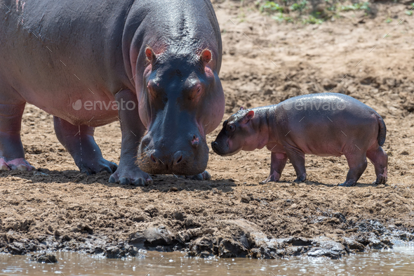 Hippo (Hippopotamus amphibius) - Stock Photo - Images