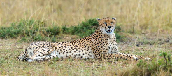 Wild african cheetah - Stock Photo - Images