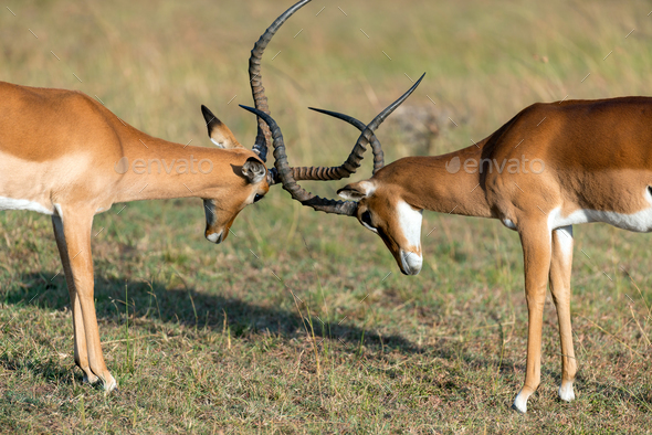 Impala on savanna in Africa - Stock Photo - Images