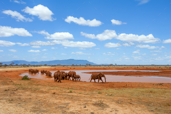 Elephant in water. National park of Kenya - Stock Photo - Images