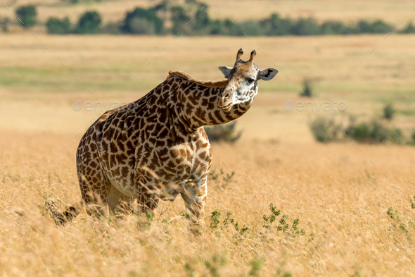 Giraffe in National park of Kenya - Stock Photo - Images