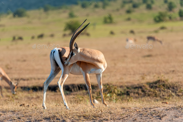 Thomson's gazelle on savanna - Stock Photo - Images