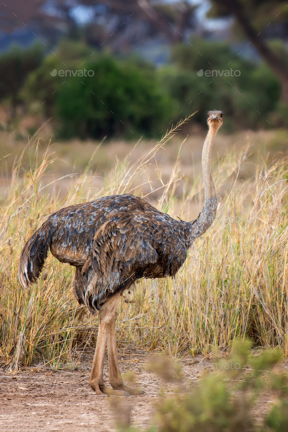 African ostrich (Struthio camelus) - Stock Photo - Images
