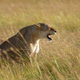 Lion in National park of Kenya - PhotoDune Item for Sale