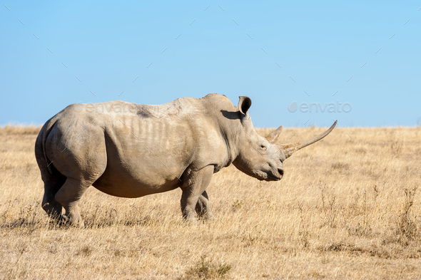 African white rhino - Stock Photo - Images