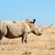African white rhino - PhotoDune Item for Sale
