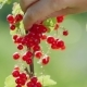 Harvest Red Currant. Female Hands Pluck Berries, - VideoHive Item for Sale
