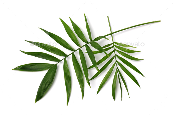palm leaves - Stock Photo - Images