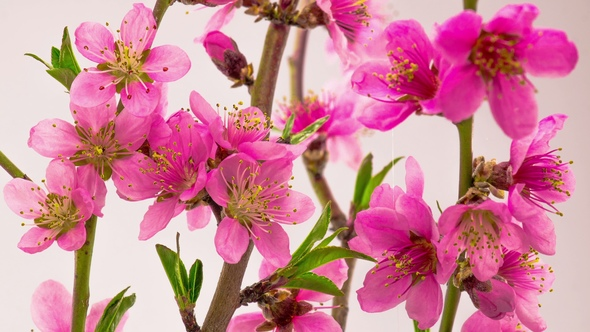 Pink cherry tree flowers blossoms by nao98 videohive play preview video mightylinksfo