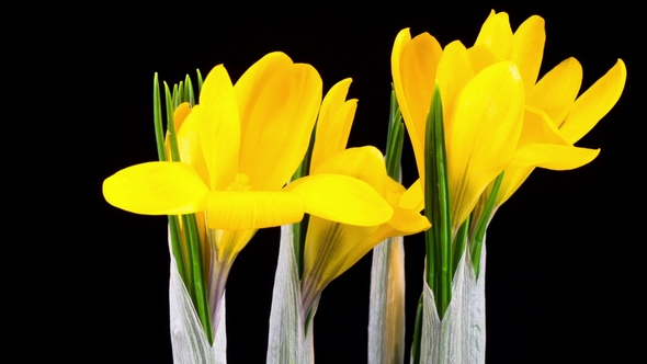 Yellow crocus flower blooming by nao98 videohive play preview video mightylinksfo
