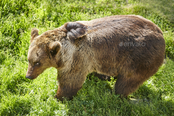 Brown bear on the wild. Wildlife environment. Animal background - Stock Photo - Images