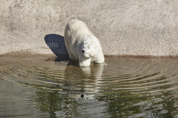 Female polar bear on the zoo. Nature environment. Horizontal - Stock Photo - Images