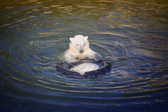 Polar bear cub playing on the water. Zoo life. Horizontal - Stock Photo - Images